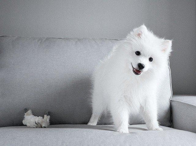 白い小型犬
