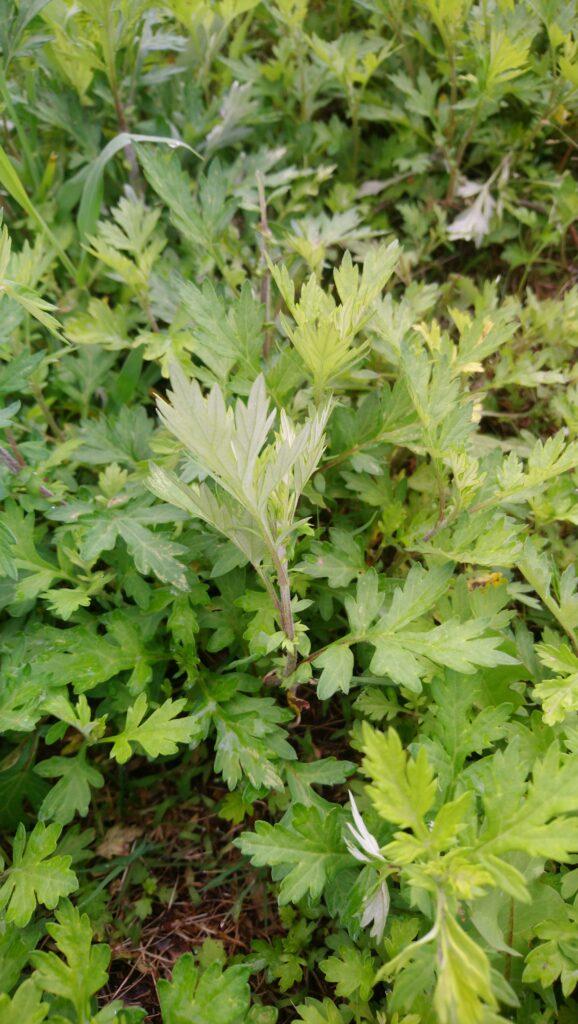 ヨモギの葉の裏を撮った写真で白っぽくなっているのがわかるもの